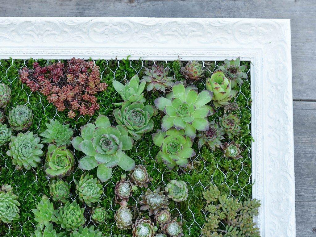hängender garten mit sukkulenten Hängender Garten: mit Sukkulenten bepflanzter Bilderrahmen sukkulenten im bilderrahmen ecke 1024x768