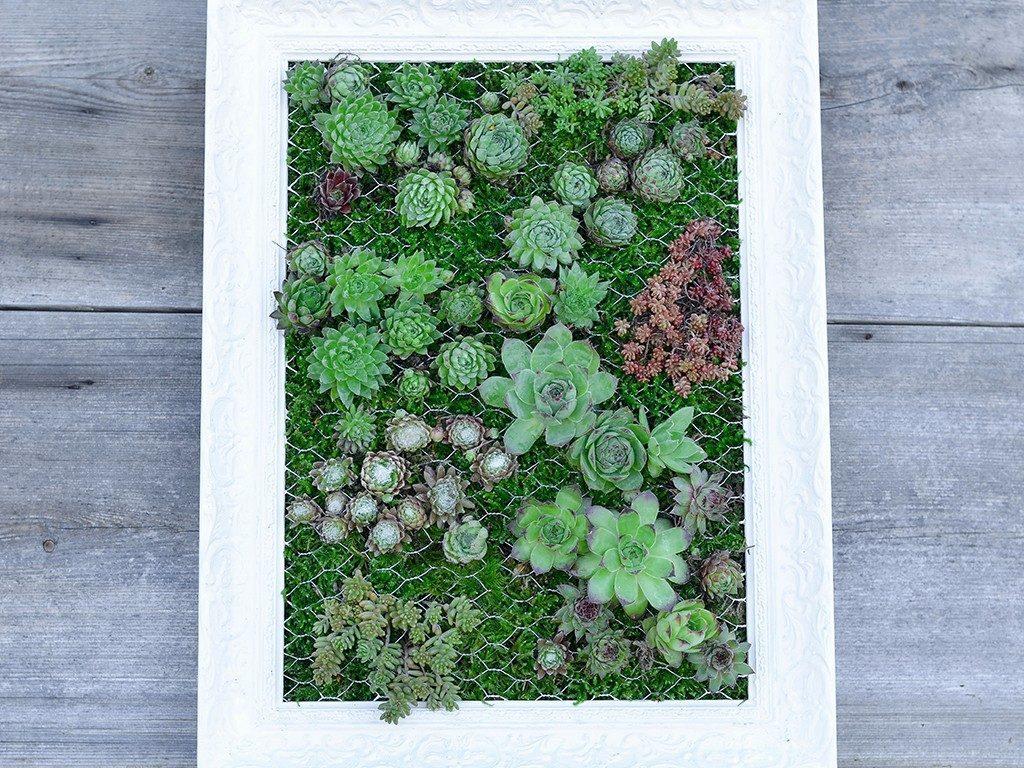 hängender garten mit sukkulenten Hängender Garten: mit Sukkulenten bepflanzter Bilderrahmen sukkulenten im bilderrahmen holz 1024x768