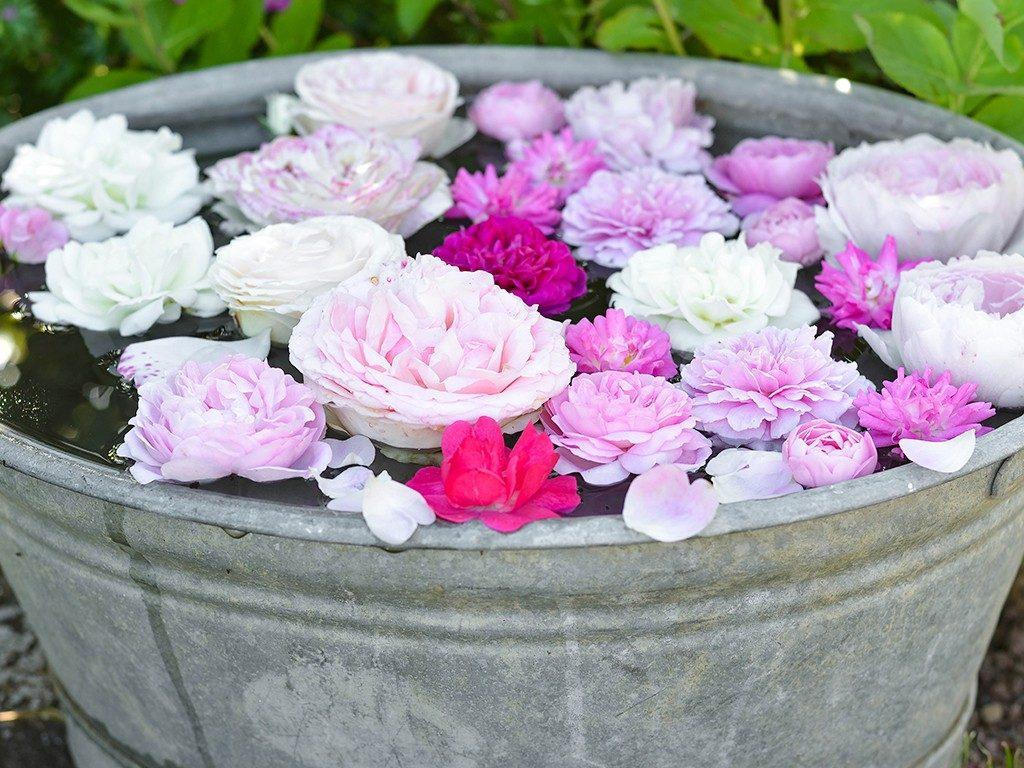 rosen selbst ziehen Tutorial: Rosen im Juni-August durch Stecklinge selbst ziehen rosen ziehen rosenstecklinge  1024x768